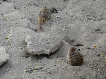 2018.08.25-072 suricates
