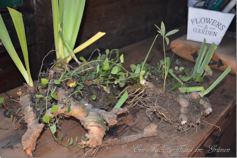 Schwertlilien