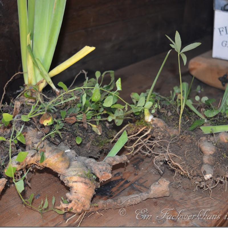 Schwertlilien pflanzen