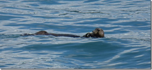 Otter in Resurrection Bay