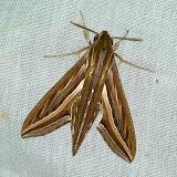 Macroglossinae : Hippotion celerio (L., 1758). Shai Hills (Ghana), 25 décembre 2013. Photo : J.-F. Christensen