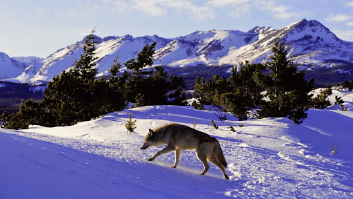 North American Grey Wolf, Rocky Mountains.jpg