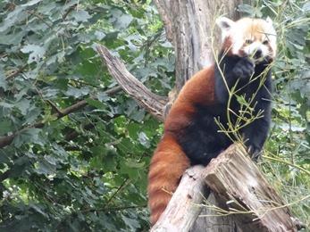 2018.08.25-015 panda roux