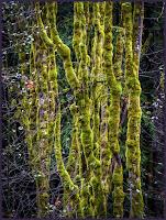 D_G_M_SnyderT_Mossy trees.JPG