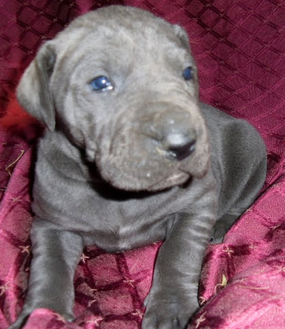 Available Solid blue girl @ 3 weeks