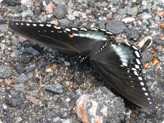 IMG_5786 Spicebush Swallowtail (Papilio troilus)