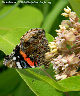 A painted lady butterfly on common milkweed.