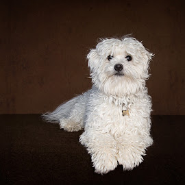 White dog by Nathalie Rouquette - Animals - Dogs Portraits ( sitting, white, brown, cute, dog )