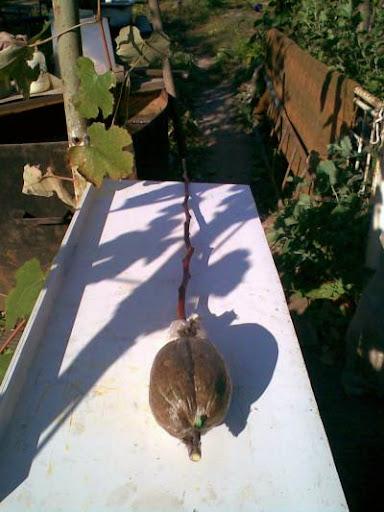 Отрезанный побег груши