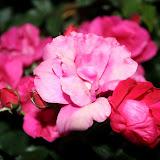 Gardening 2012 - IMG_3085.JPG