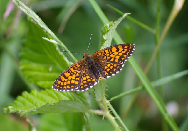 Mellicta athalia ROTTEMBURG, 1775, mâle. Les Hautes-Lisières (Rouvres, 28), 18 juin 2011. Photo : J.-M. Gayman