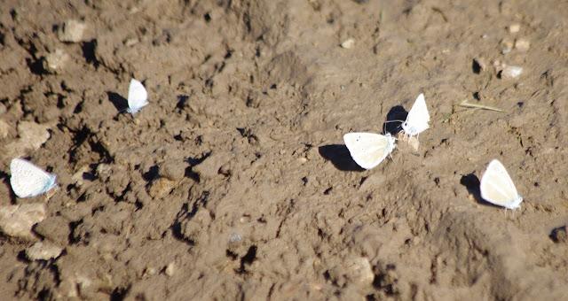 Polyommatus escheri escheri (HÜBNER, 1823) (à gauche) et P. damon (DENIS & SCHIFFERMÜLLER, 1775). Villeneuve, 1000 m (Causse Méjean, Lozère), 10 août 2013. Photo : J.-M. Gayman