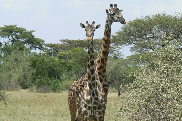 Serengeti National Park - giraffes