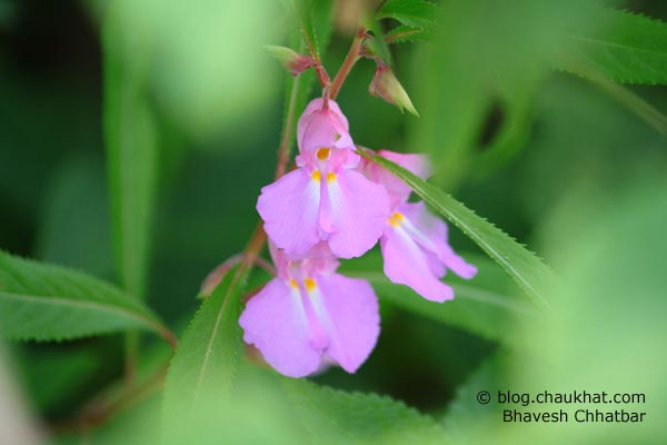 3 pink flowers on way to Kas plateau