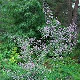 Thalictrum Dipterocarpum 1-2 м