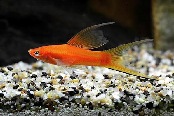 """Cá kiếm nổi bật với chiếc đuôi """"độc nhất vô nhị"""" của mình. Một trong các loại cá cảnh dễ nuôi nhất."""
