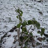 7 ноября -12 мороза. Сирень зиму еще не ждала...