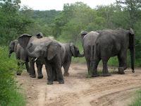 Elephant herd - Thornybush Reserve, Kruger NP