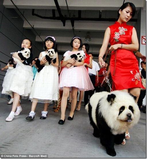 peros como oso pandas y tigres (5)
