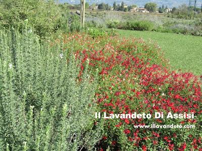 Salvia officinalis e salvie ornamentali coltivazione for Aiuole fiorite immagini