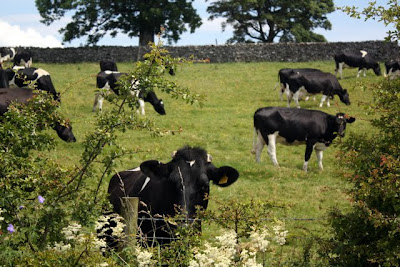 Cows in a pasture in the Eden Valley in Cumbria England