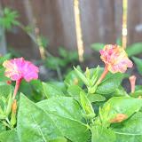 Gardening 2012 - IMG_3113.JPG