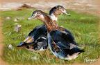 La Danse des canards 40 x 30  Juin 2005