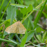 Crambidae : Pyraustinae : Sitochroa verticalis (LINNAEUS, 1758). Les Hautes-Lisières (Rouvres, 28), 19 juin 2011. Photo : J.-M. Gayman