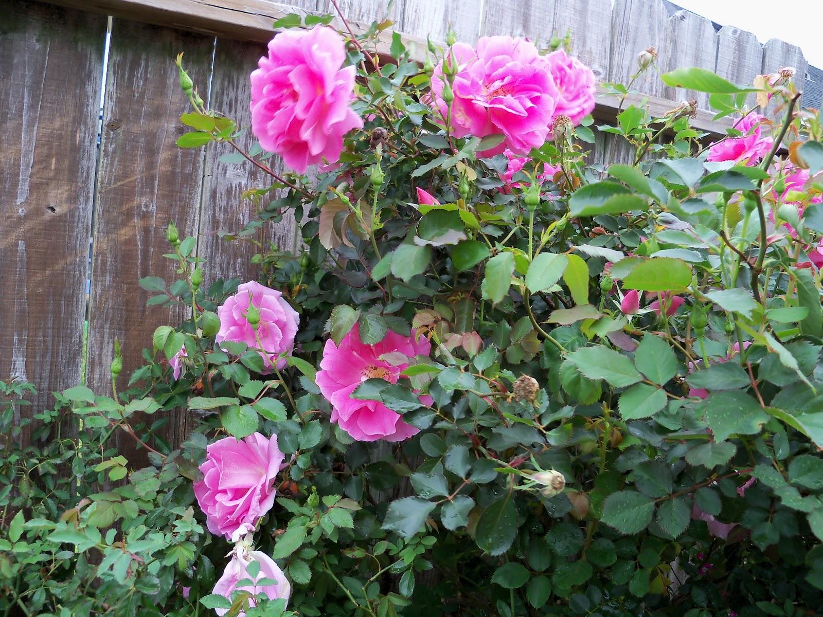 Gardening 2012 - 115_1354.JPG