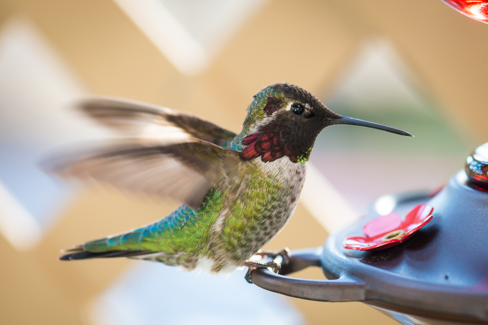 hummingbird, колибри