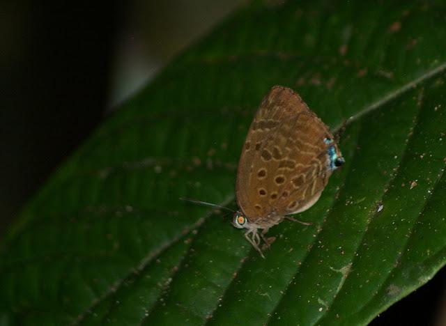 Arhopala atosia HEWITSON, 1863. Sukau (Pangi), 7 août 2011. Photo : J.-M. Gayman