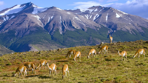 Grazing Guanaco, Torres del Paine National Park, Chile.jpg