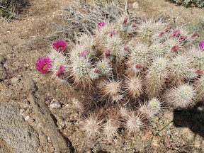 Spring softens the look of the Hedgehog cactus