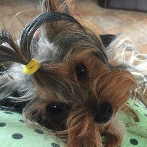 Yorkshire Terrier mit Haargummi