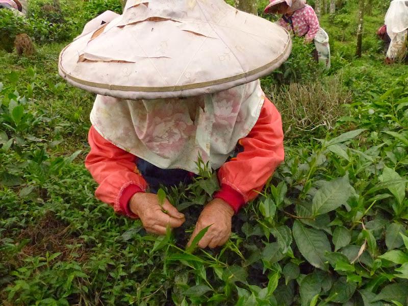 Puli, Nantou county, cueillette de thé - P1050551.JPG