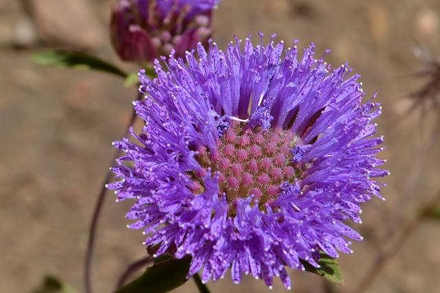 purple pincushion