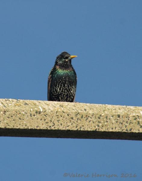 42-starling