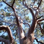 A large angophora east of Patonga (218789)