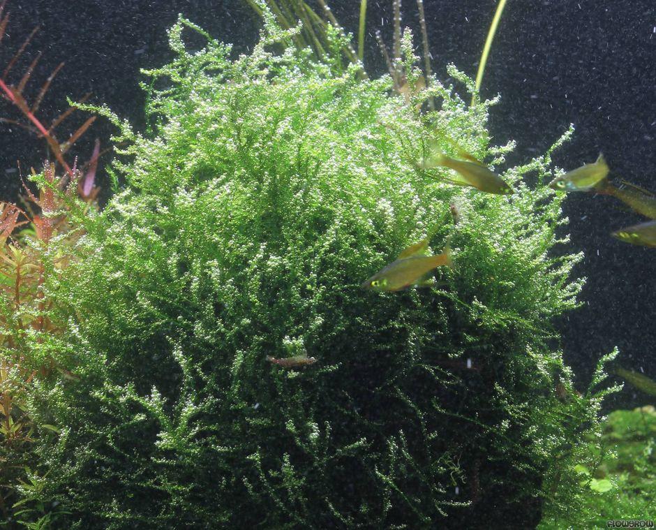 Лептодиктиум береговой (Мох Стринги, Stringy moss) (Leptodictyum riparium)