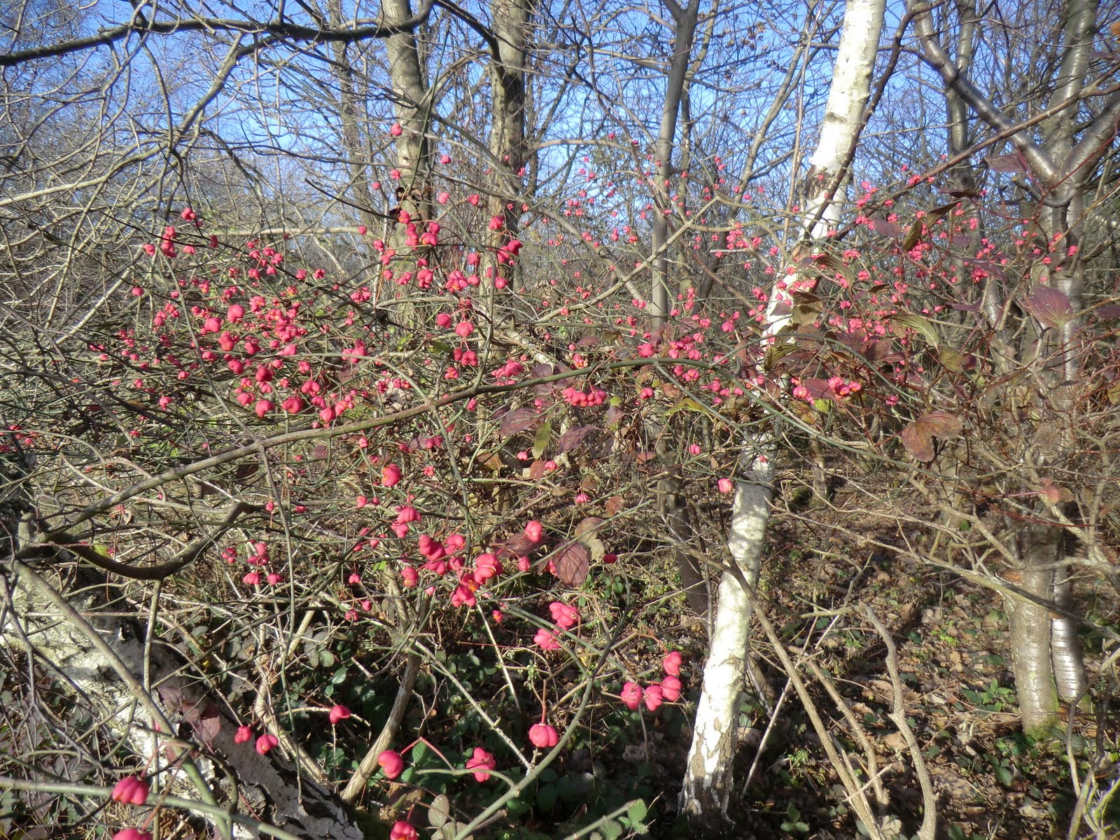 CIMG4955 Spindle on Mickleham Downs