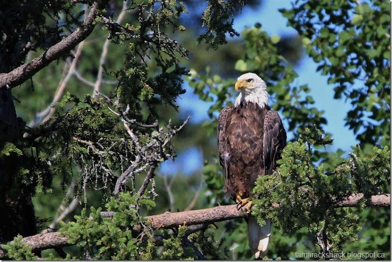eagle20