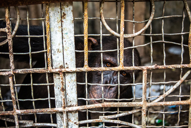 Antoine, a captive chimpanzee at a hotel in Mbandaka, Congo. He escaped in January and was shot by the police. Photo: Bryan Denton / The New York Times