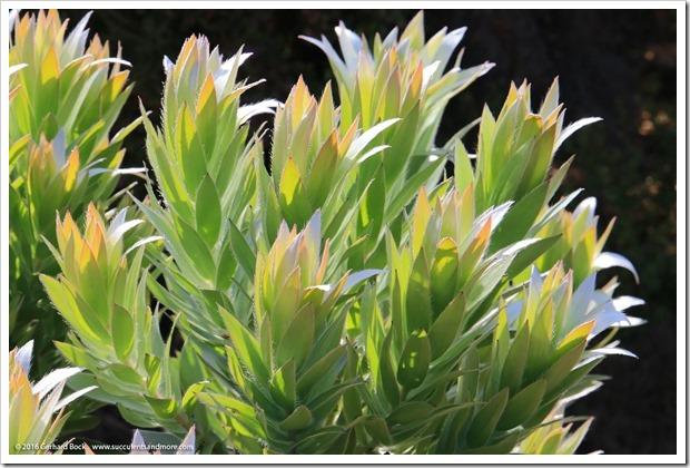 160813_UCSC_Arboretum_Leucadendron-argenteum_004