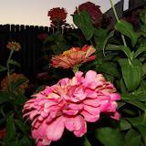 Gardening 2011 - 100_8775.JPG