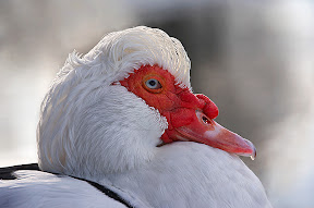 Muscovy Duck by John Powell EFIAP DPAGB BPE4