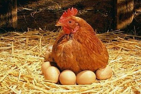 Solusi Bisnis Terbaik Dengan Berternak Ayam Ras Petelur