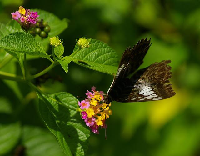 Parthenos sylvia borneensis STAUDINGER, 1889. Sukau (Sabah, Malaisie, Bornéo), 3 août 2011. Photo : J.-M. Gayman