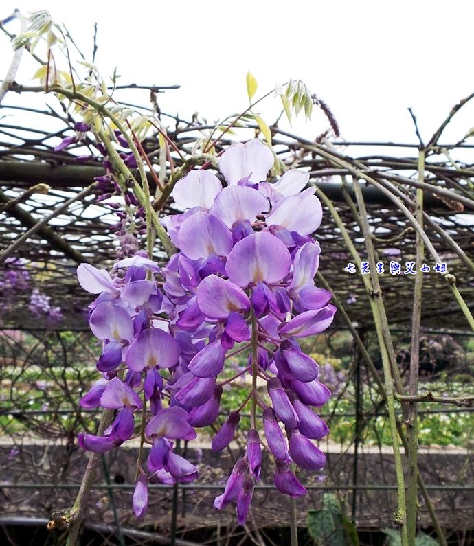 10 苗榜海芋園紫藤花