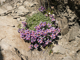 lineaire Alpine, Linaria alpina Scrophulariacees 2.JPG