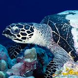 Loggerhead Turtle, Papua New Guinea